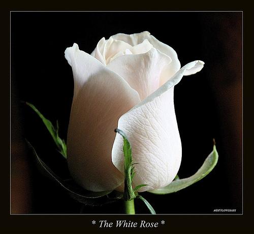 فَلَا تَنْسَىْ انّ تَجْعَلِ حَيَاتِكَ rose.jpg