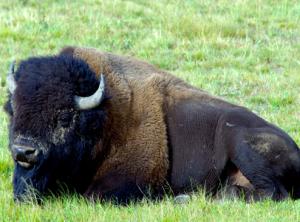 RIP Buffalo